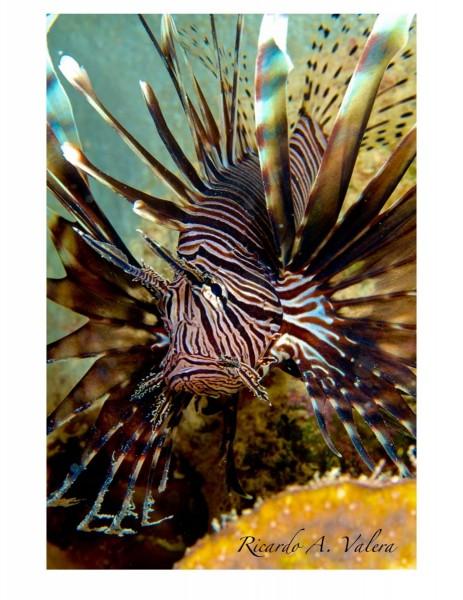 Lionfish4